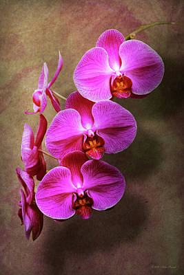 Orchid - Phalaenopsis - The Moth Orchid Poster