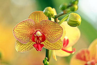 Orchid Show Poster by Geraldine Scull