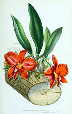 Orchid, Sophronitis Grandiflora, 1880 Poster