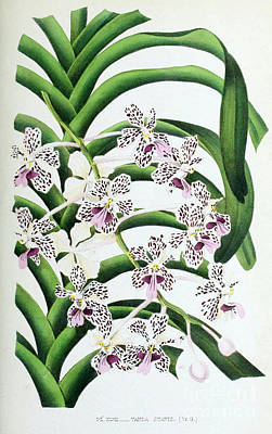 Orchid, Vanda Suavis, 1880 Poster