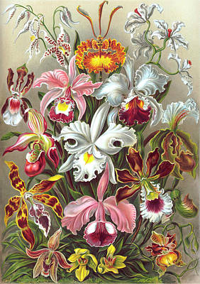 Orchidae Orchids Poster by Ernst Haeckel