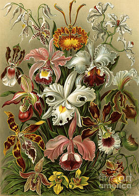 Orchideae Poster by German School