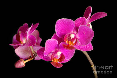 Poster featuring the photograph Orchids by Alana Ranney