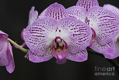 Orchids On Black Poster