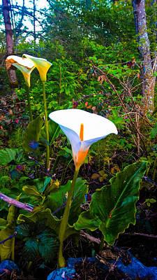Oregon Wild Calla Lilies Poster