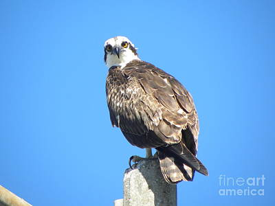 Poster featuring the photograph Osprey 1 by Terri Mills