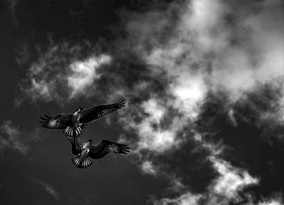 Osprey Dog Fight In Black And White Poster