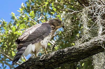Red-shouldered Hawk Fledgling - 4 Poster