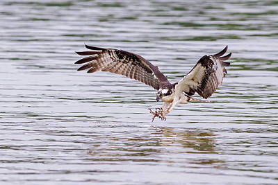 Poster featuring the photograph Osprey Going For Breakfast by Lori Coleman