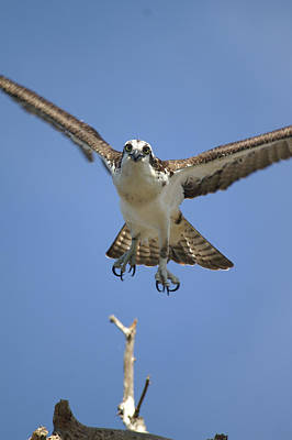 Osprey Head On Poster by Jack Norton
