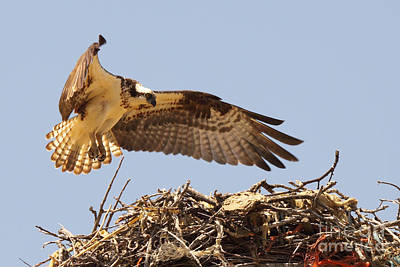Poster featuring the photograph Osprey Hovering Above Nest by Max Allen