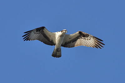 Osprey In Flight 1 Poster