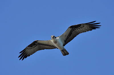 Osprey In Flight 2 Poster