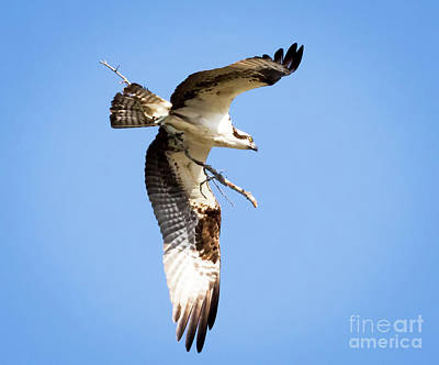 Poster featuring the photograph Osprey In Flight by Ricky L Jones