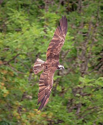 Osprey In The Trees Poster