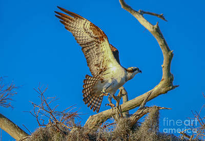 Osprey Landing On Branch Poster by Tom Claud