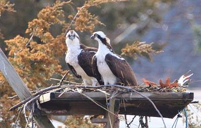 Osprey Lookout Poster