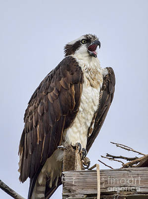 Poster featuring the photograph Osprey On Its Perch by Eddie Yerkish