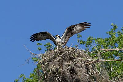 Osprey On Nest Wings Held High Poster