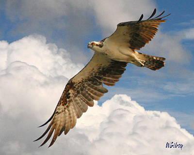 Osprey / Sea Hawk Poster by W Gilroy