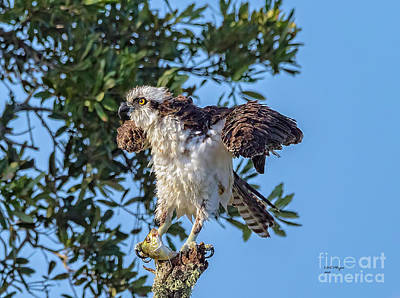 Osprey With Meal Poster