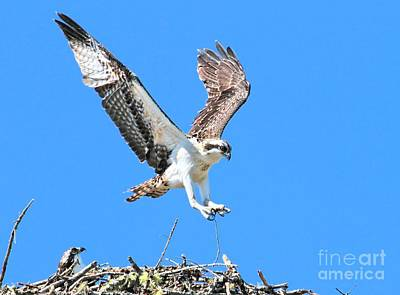 Ospreys Learning To Fly Poster by Debbie Stahre