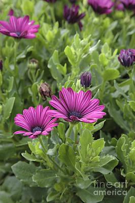 Osteospermum Flowers Poster