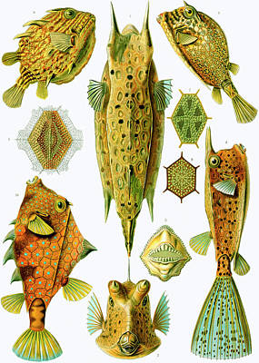 Ostraciontes Boxfish Poster by Ernst Haeckel