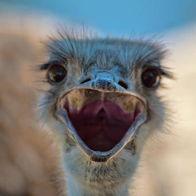 Poster featuring the photograph Ostrich Big Mouth by Dan McManus