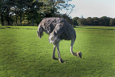 Ostrich - Knowsley Safari Park In England Poster by Doc Braham