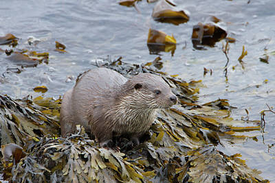 Otter On Seaweed Poster