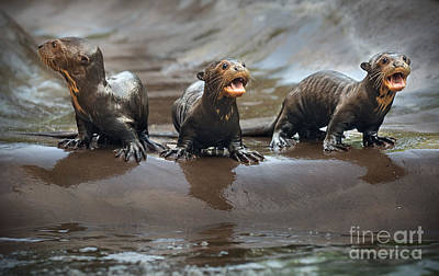Otter Pup Triplets Poster by Jamie Pham