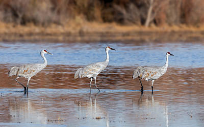 Out Of Step - Sandhill Crane Trio Poster