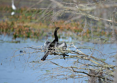 Out On A Limb - Anhinga Water Turkey Poster by rd Erickson