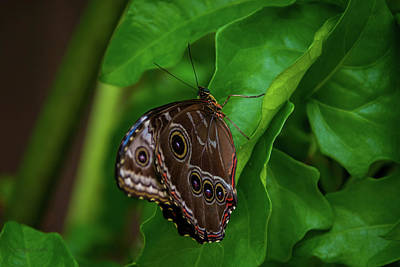 Owl Butterfly Poster