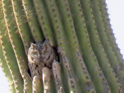 Owl In Cactus Burrow Poster