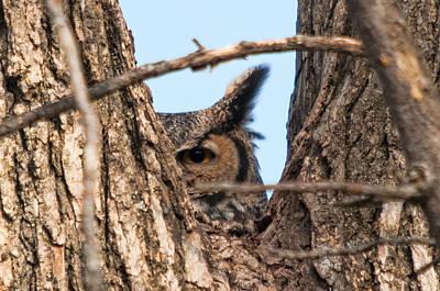 Owl Peek Poster