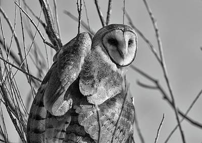 Owl Whites Poster