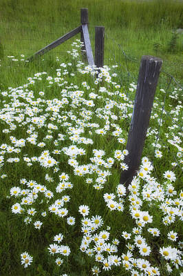 Ox-eyed Daisies And Fenceline, Alberta Poster by Darwin Wiggett