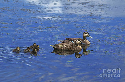 Pacific Black Duck Anas Superciliosa Poster by Gerard Lacz