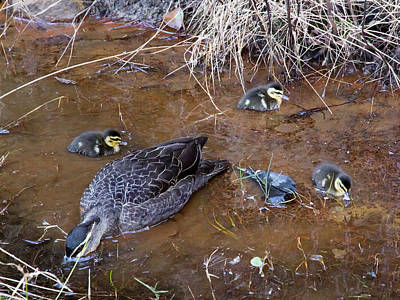 Poster featuring the photograph Pacific Black Duck Family by Miroslava Jurcik