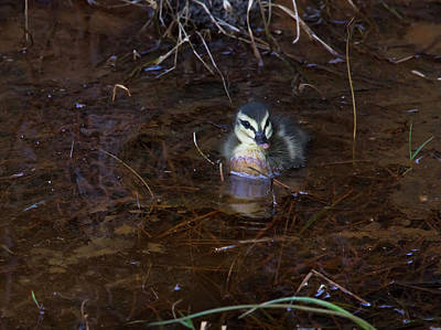 Poster featuring the photograph Pacific Black Duckling by Miroslava Jurcik