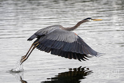 Pacific Great Blue Heron On Lift Off Poster