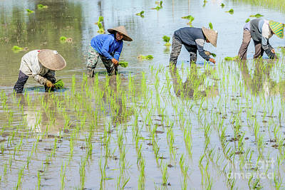 Paddy Field 1 Poster by Werner Padarin