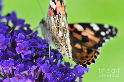 Painted Lady Feeding On A Buddleia  Poster