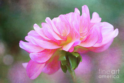 Painted Pink Dahlia Poster