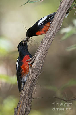 Painted Redstarts With Prey Poster