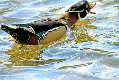 Painted Wood Duck Poster by Geraldine Scull