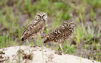 Pair Of Burrowing Owls Poster