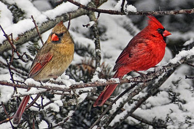 Pair Of Cardinals In Winter Poster